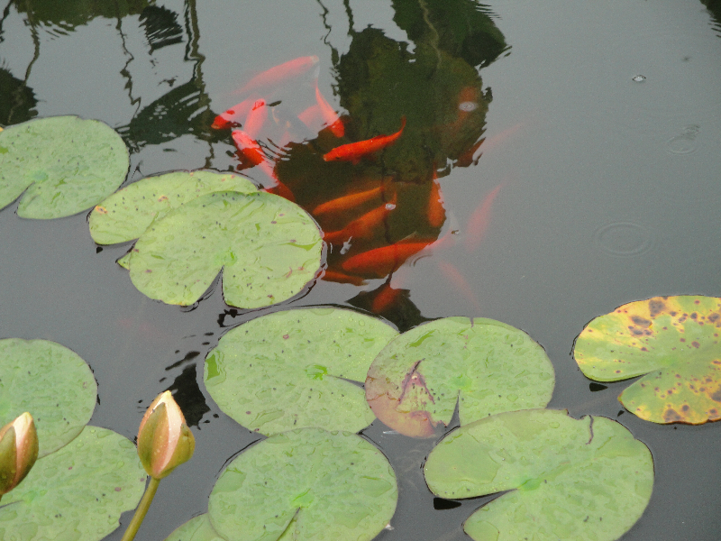 monets-garden-lily-pond-and-koi