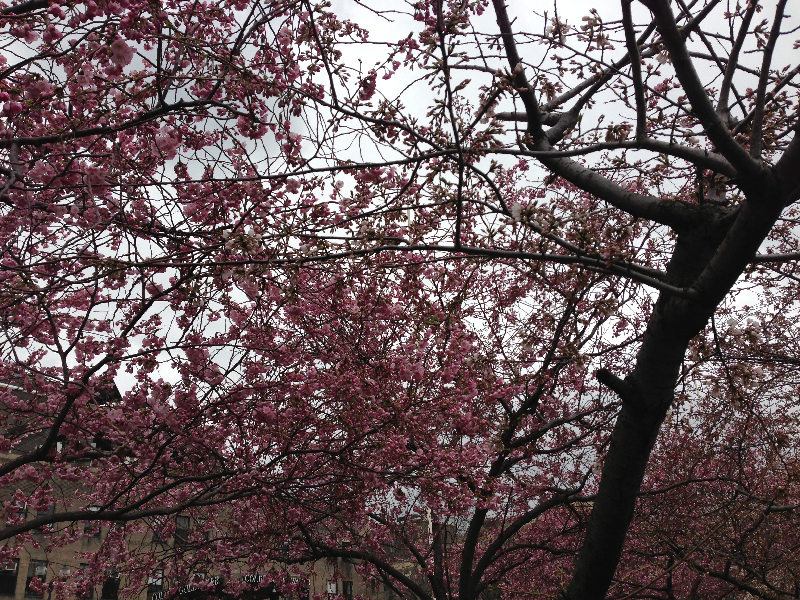 cherry-blossoms